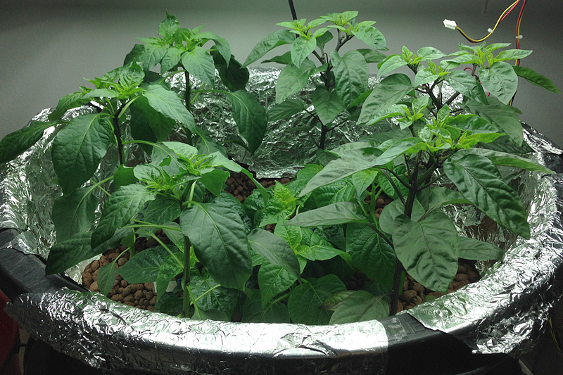 Chili plants in hydroponics