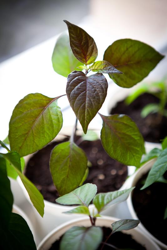 Pimenta de Neyde dark leaves