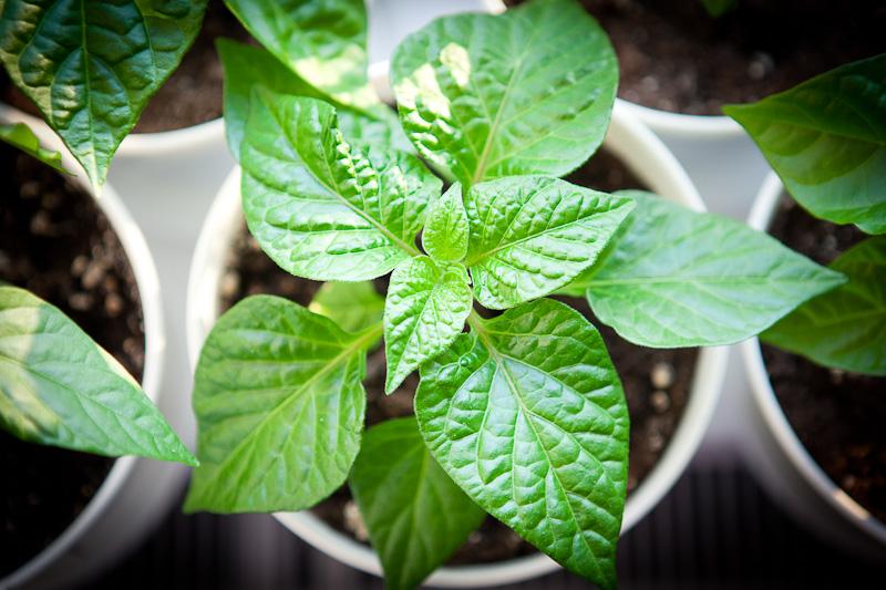 Fatalii Chili plant