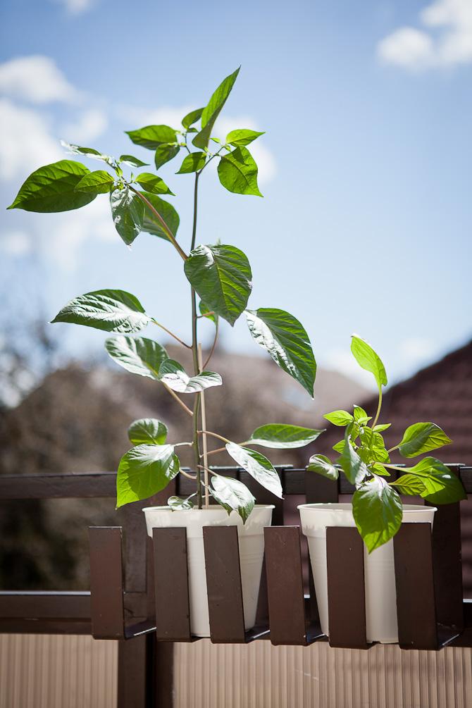 Cheiro roxa chili plant topping