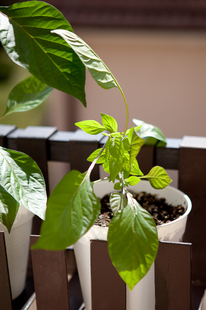 Topped Cheiro roxa chili plant