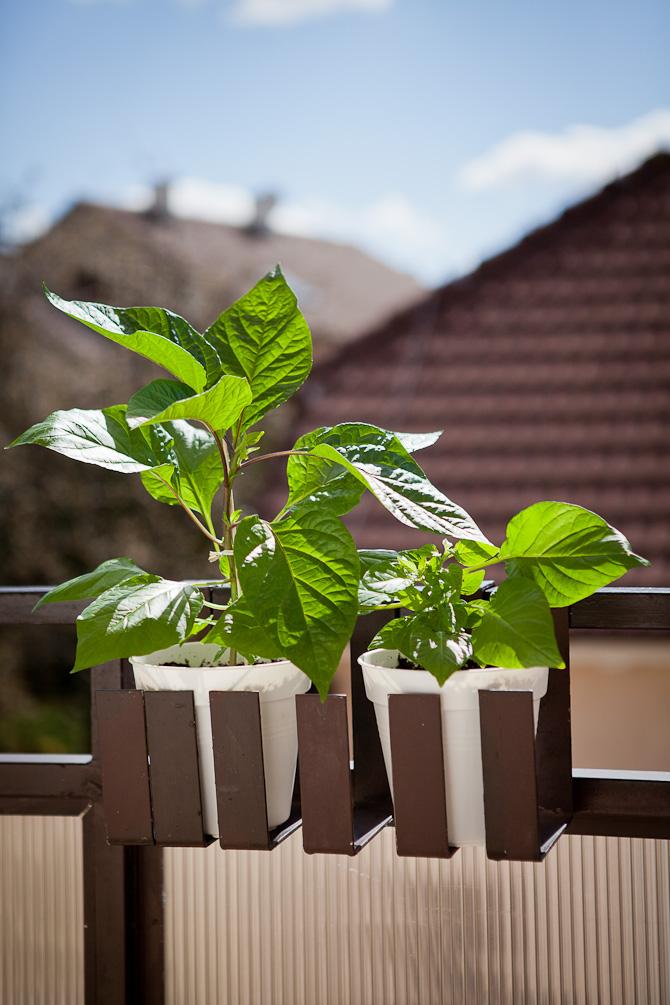 Caramel Bhut Jolokia chili plant topping