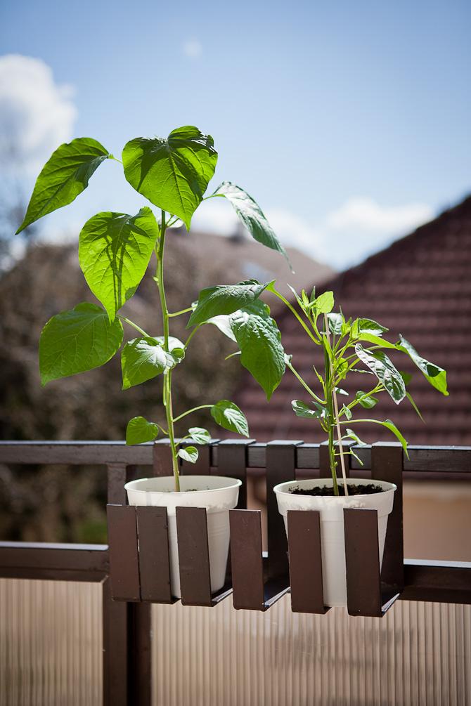 Aji Rico chili plant topping