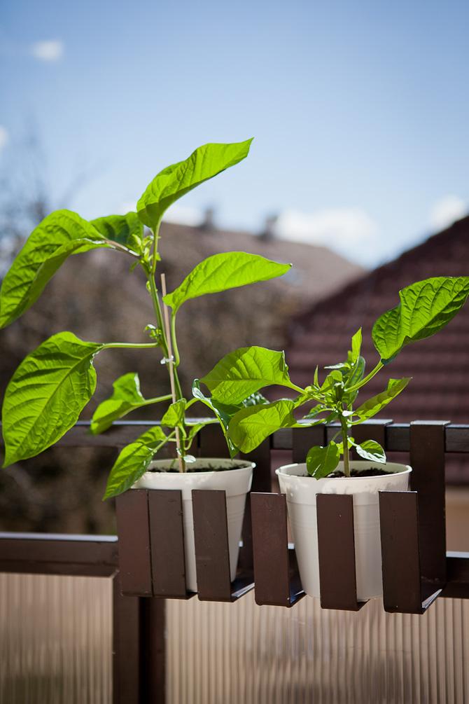 Chocolate Scotch Bonnet chili plant topping