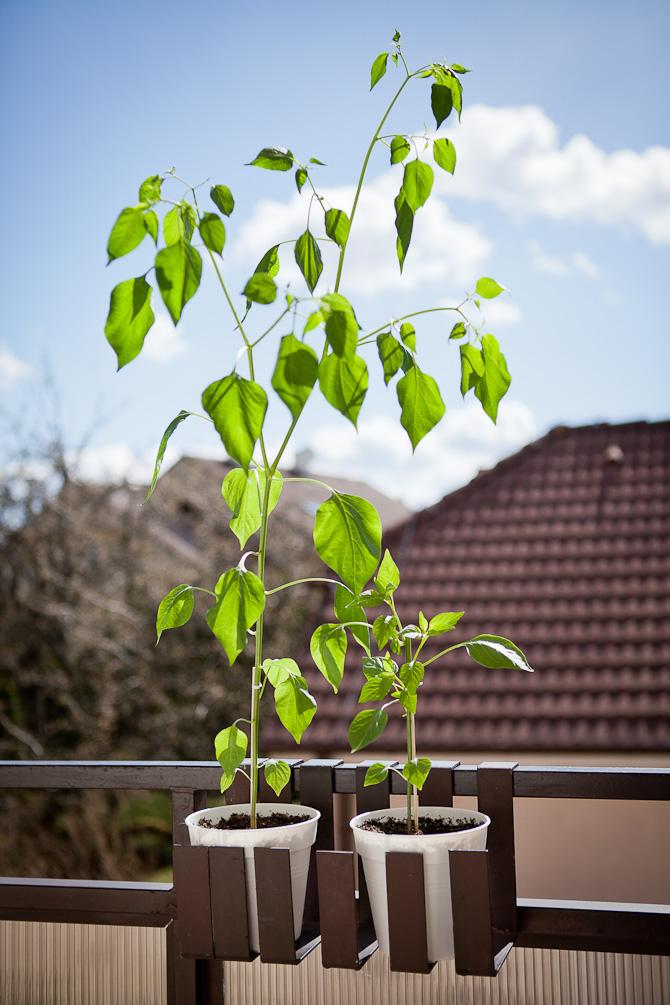 Aji Habanero chili plant topping