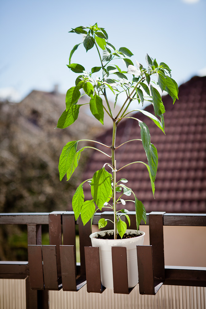 Black Scorpion Tongue Chili plant