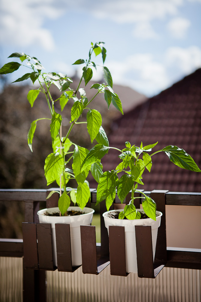 Topping Fire Flame Chili plant topping