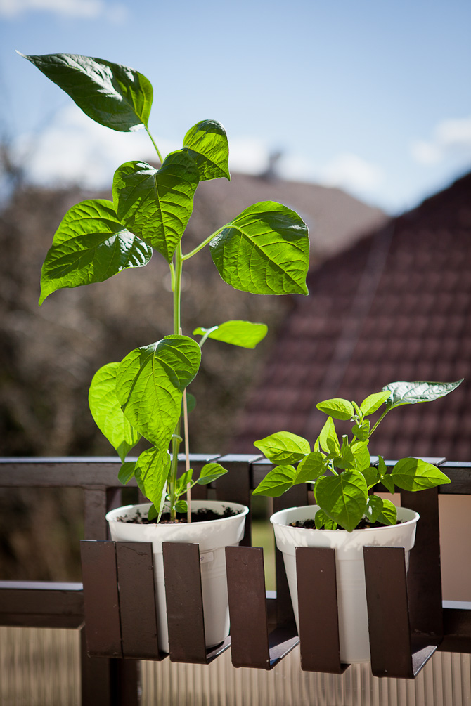 Topping chili pepper plants for higher yield - Peter Pech