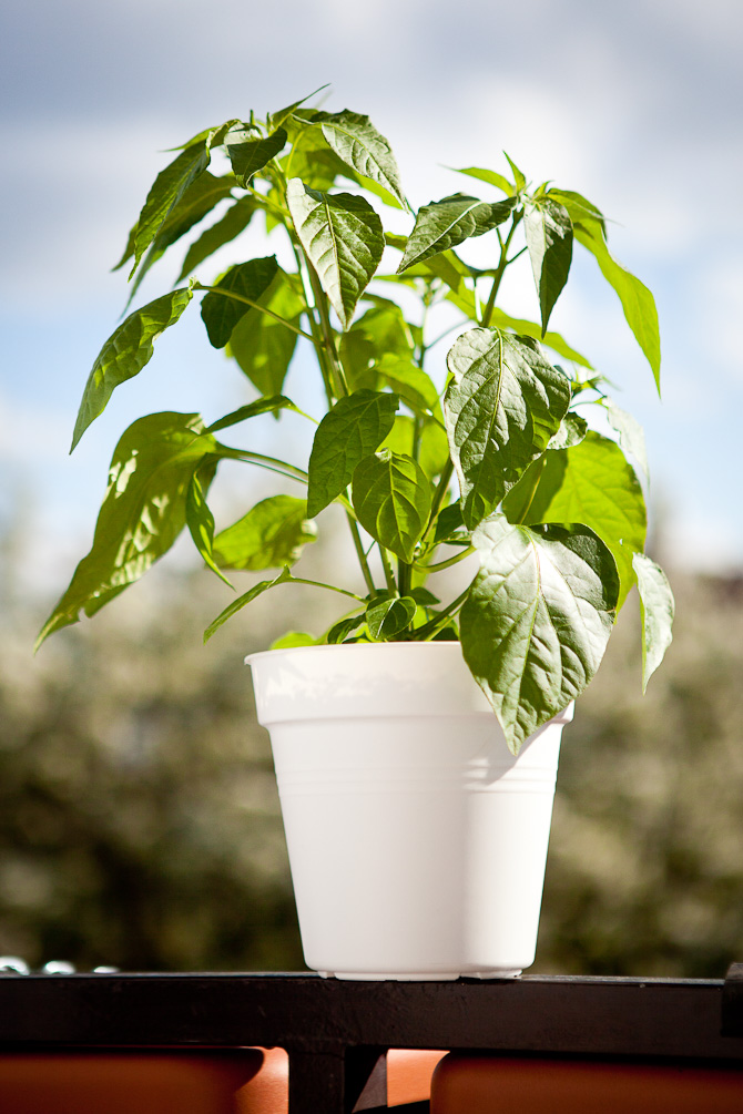 Topping Fatalii Gourmet Aji Fantasy Chili plant Chili plant