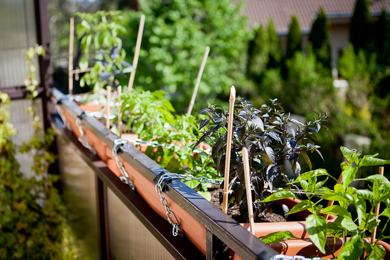 Balcony chili garden