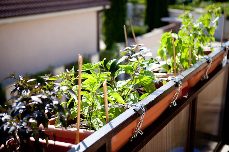 Balcony chili garden