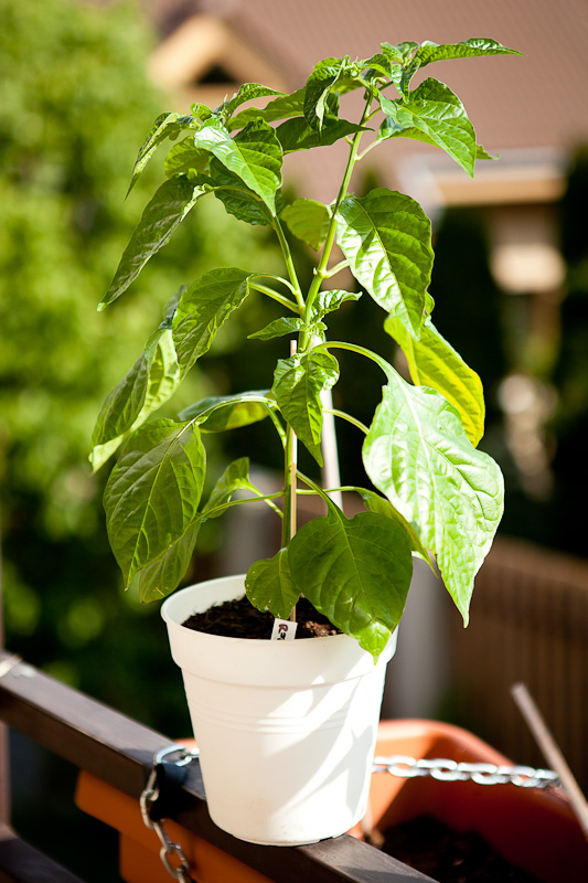 Habanero Carribean Red chili plant