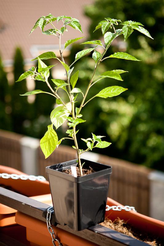 Paper Lantern chili plant