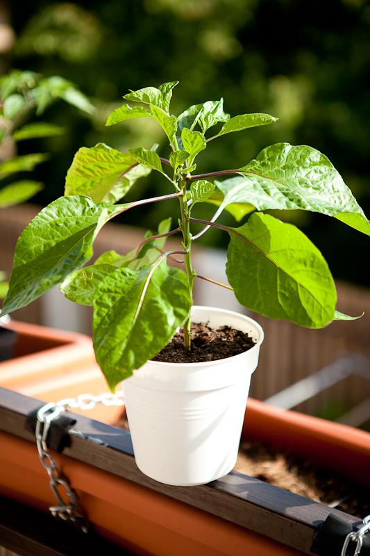 Harlod St. Bart chili plant