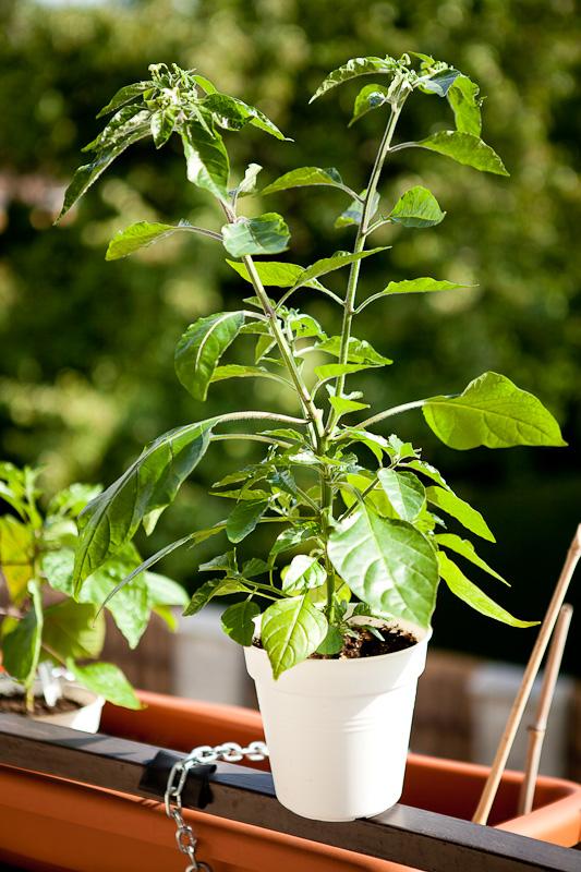 Orange Blob chili plant