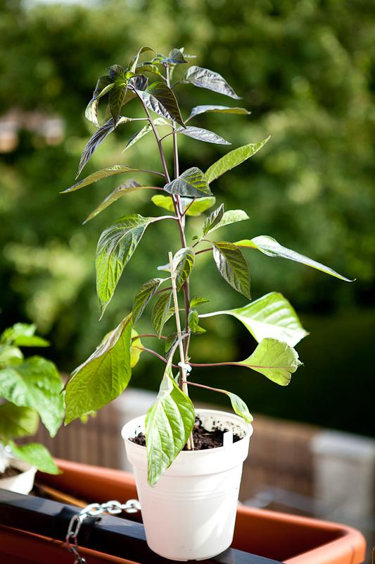 Fidalgo Roxa chili plant
