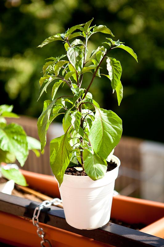 CGN 21500 chili plant