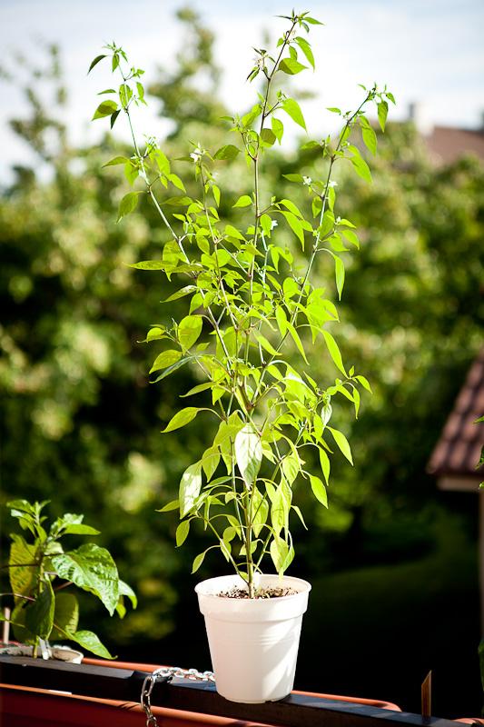 Purira chili plant