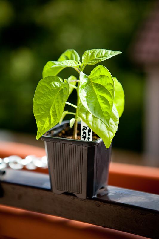 Carolina Reaper chili plant