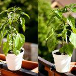 Growing chili on a balcony 2016