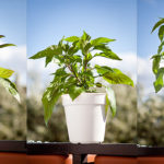 How to: Topping chili pepper plants